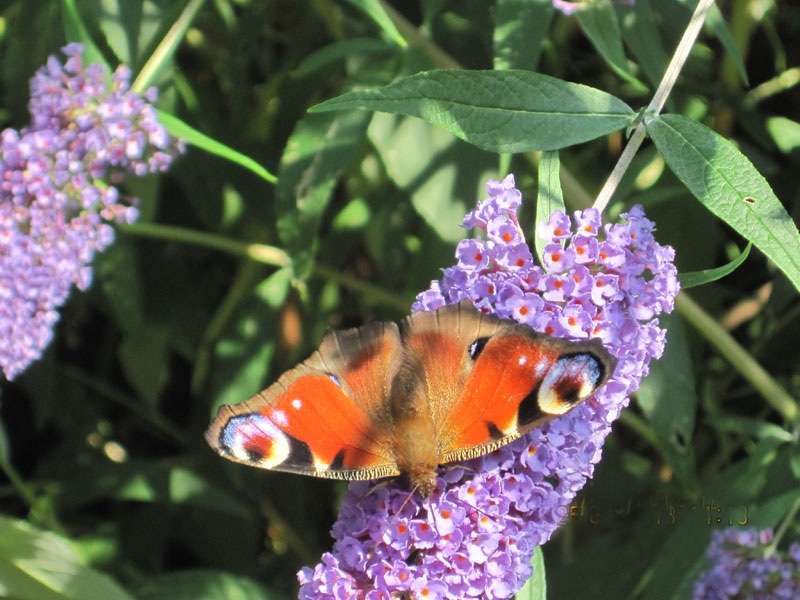 Butterfly-on-buddleia-1