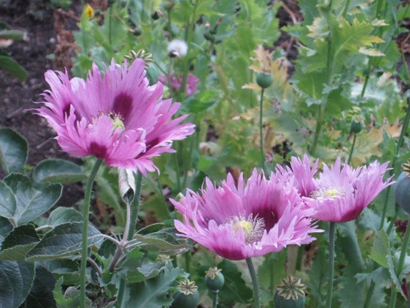 Garden-poppies-1