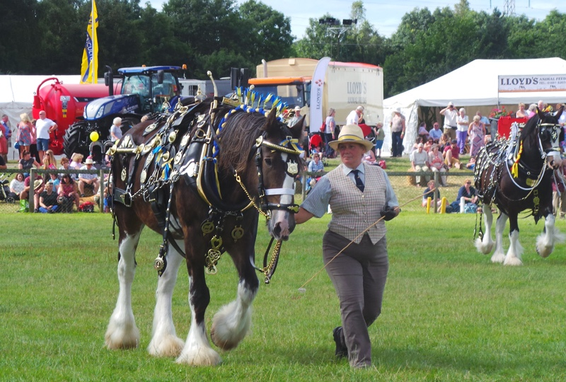 Oswestry-Show-Shire-Horse