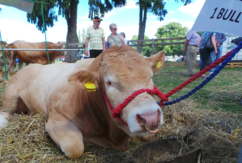 Oswestry-Show-bull