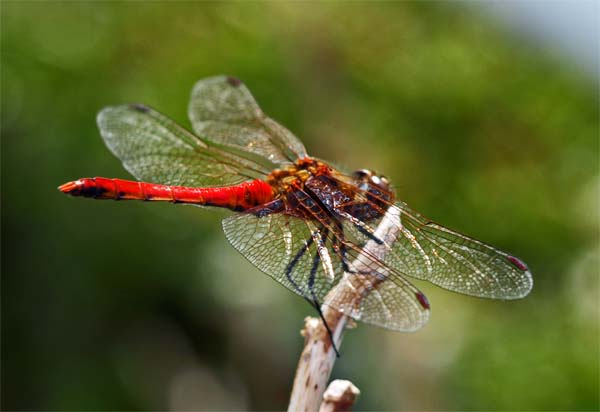 dragonfly-copy